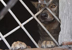 В пяти километрах от Донецка поймали волка