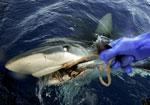 История о пьяном сербе, убившем акулу, оказалась шуткой