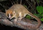 На Мадагаскарі відкрили новий вид лемурів