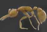 В джунглях вокруг Амазонки найдены «марсианские» муравьи Martialis heureka. Фото g1.globo.com