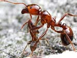 Колония аргентинских муравьев захватила мир Фото: myrmecos.net