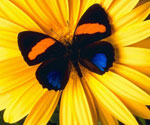 Бабочки «лечат» потомство с помощью ядовитых растений