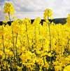 Украина на первом месте в Европе по площадям посевов рапса