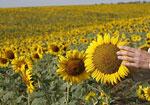 Украина собрала рекордный урожай подсолнечника, более семи миллионов тонн