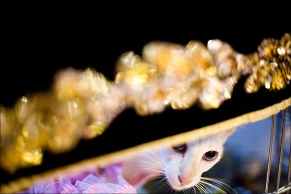 Кот породы яванез - полудлинношерстная ориентальная кошка. Говорят, у нее очень мелодичный голос. Так что заводите к марту - не пожалеете! Getty Images / Afton Almaraz