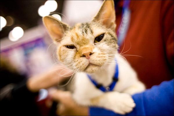 Американская жесткошерстная кошка презирает все человечество, лежа на руках хозяйки. Getty Images / Afton Almaraz