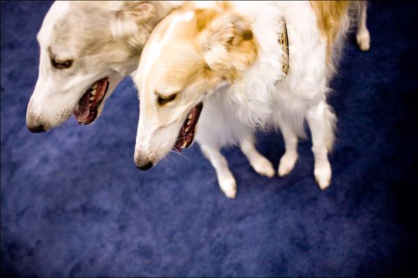 Две борзые. Getty Images / Afton Almaraz