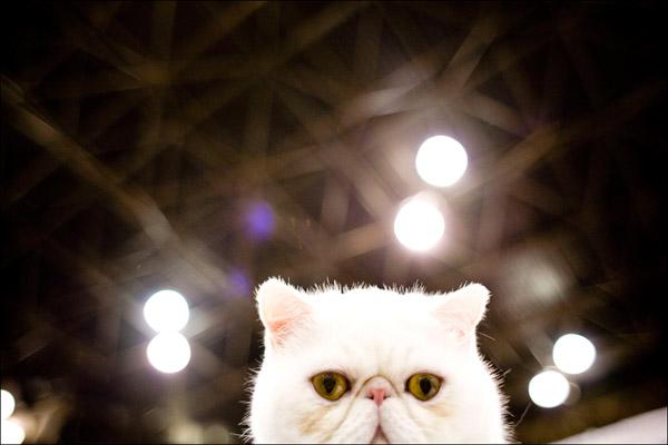 Экзот - смесь американской жесткошерстной и персидской. Getty Images / Afton Almaraz
