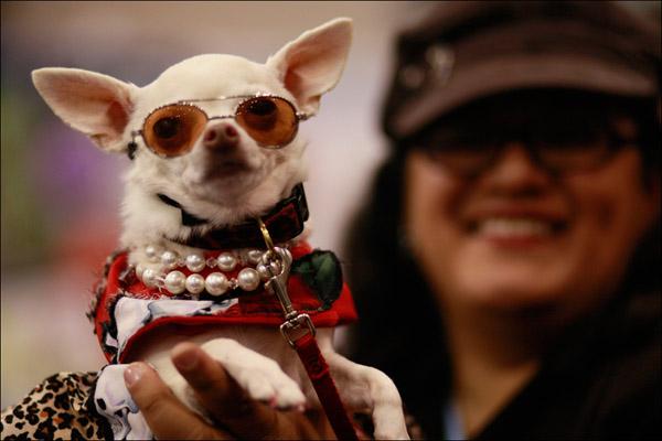 Чихуахуа Ванилла вся в жемчугах - хороша! AP / Mary Altaffer