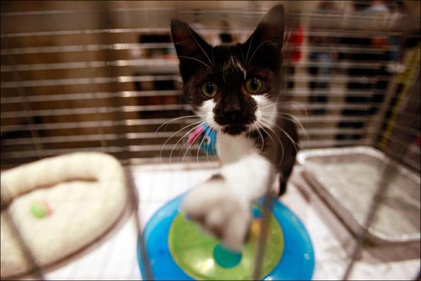 12-недельный котенок Уишбон очень хочет найти хорошие руки, потому что у него лапы совершенно замечательные. AP / Mary Altaffer
