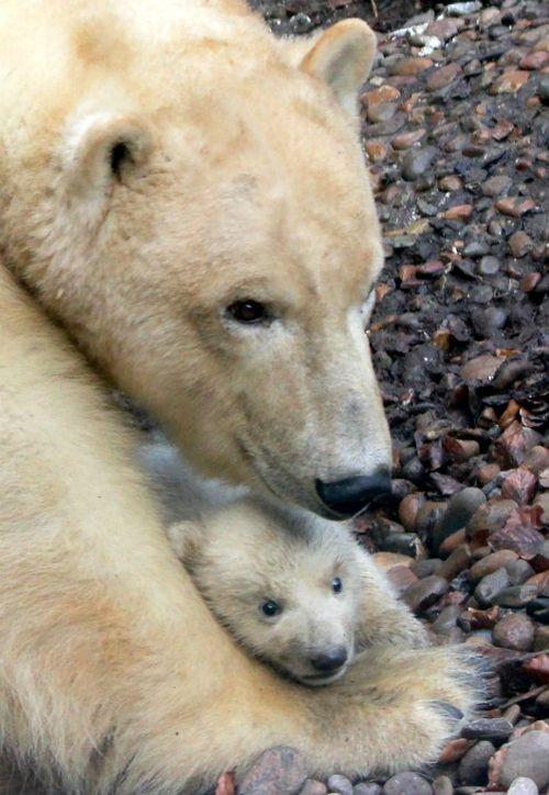 Детеныш белого медведя.