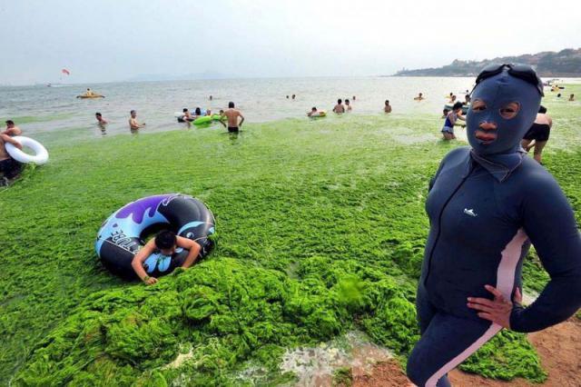 Зеленые водоросли покрыли море у берега Китая. Фото enteromorpha prolifera